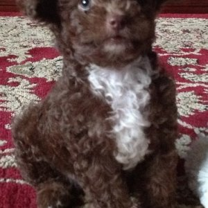 Baxter.  Our new chocolate toy poodle - 8 weeks.