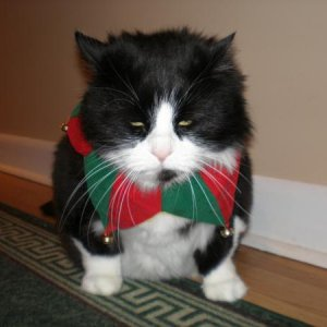 this is my pissed off french cat Dutchy who doesn't like Xmas or Halloween ........ Rip Dutchy