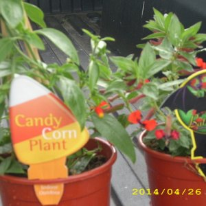 candycorn and bat plants