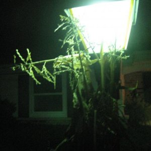a green glow from our corn stalk covered lamp post